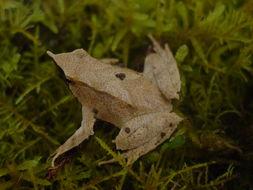 Image of Darwin's Frog