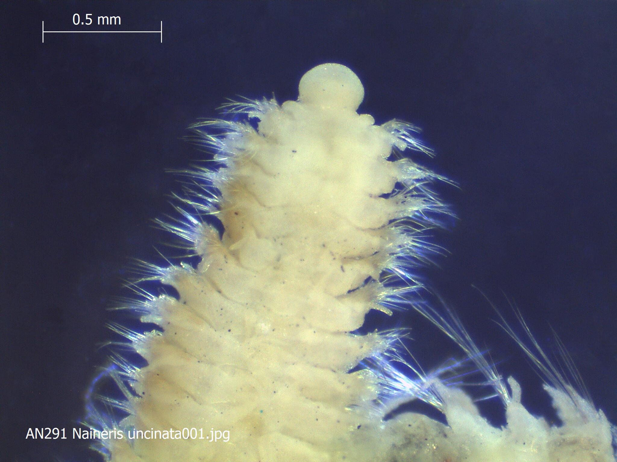 Image of <i>Naineris uncinata</i> Hartman 1957