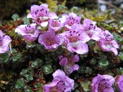 Image of purple mountain saxifrage