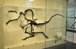 Image of <i>Struthiomimus altus</i> (Lambe 1902)