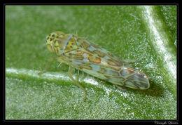 Image of Ligurian Leafhopper