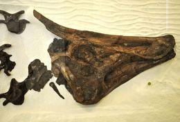 Image of <i>Saurolophus osborni</i> Brown 1912