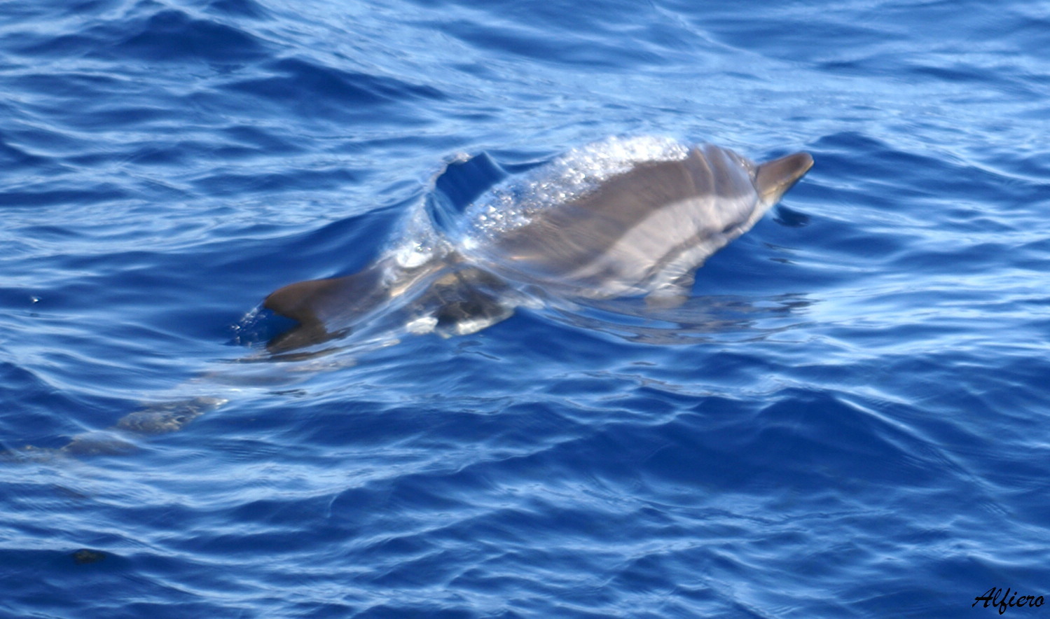 Image of Blue-white Dolphin