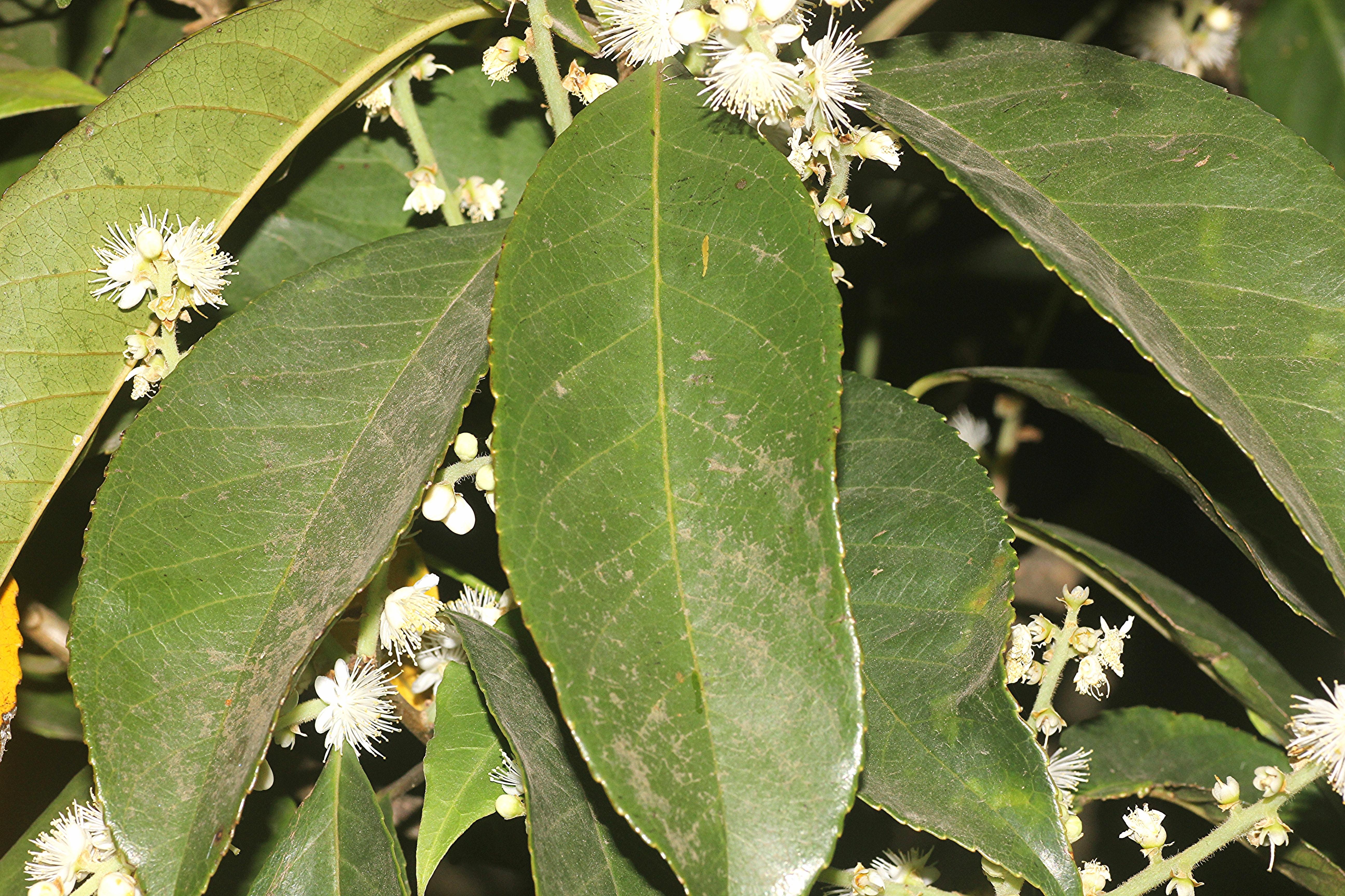 Image of <i>Symplocos racemosa</i> Roxb.