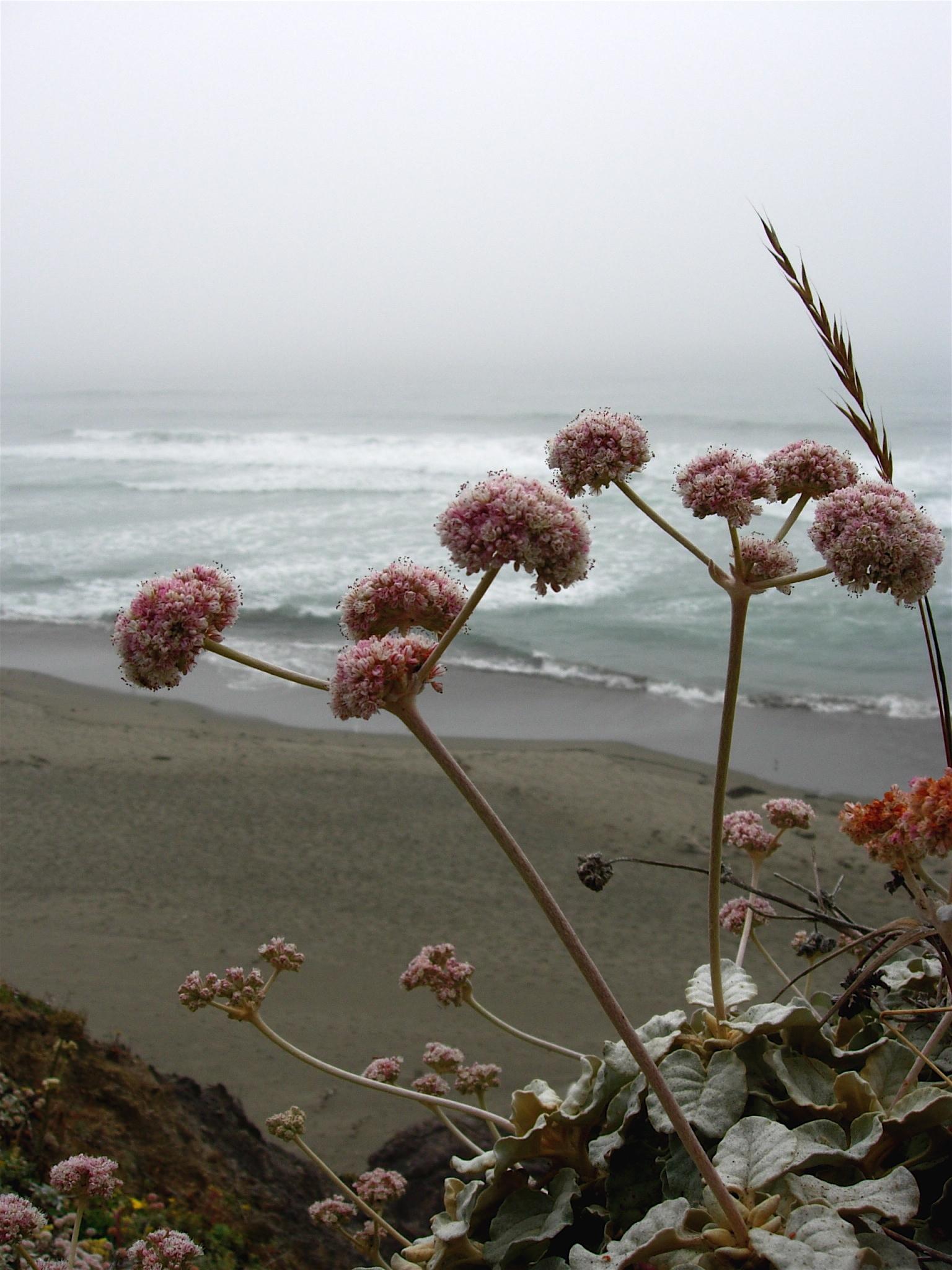 Image of seaside buckwheat