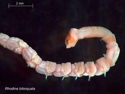 Image of <i>Rhodine bitorquata</i>