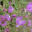 Image of <i>Andeimalva chilensis</i> (Gay) J. A. Tate