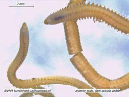 Image of <i>Lumbrineris californiensis</i> Hartman 1944