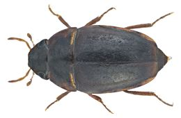 Image of <i>Limnebius crinifer</i> (Rey 1885)