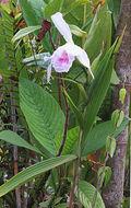 Image of <i>Sobralia rosea</i> Poepp. & Endl.