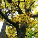 Image of sawtooth oak