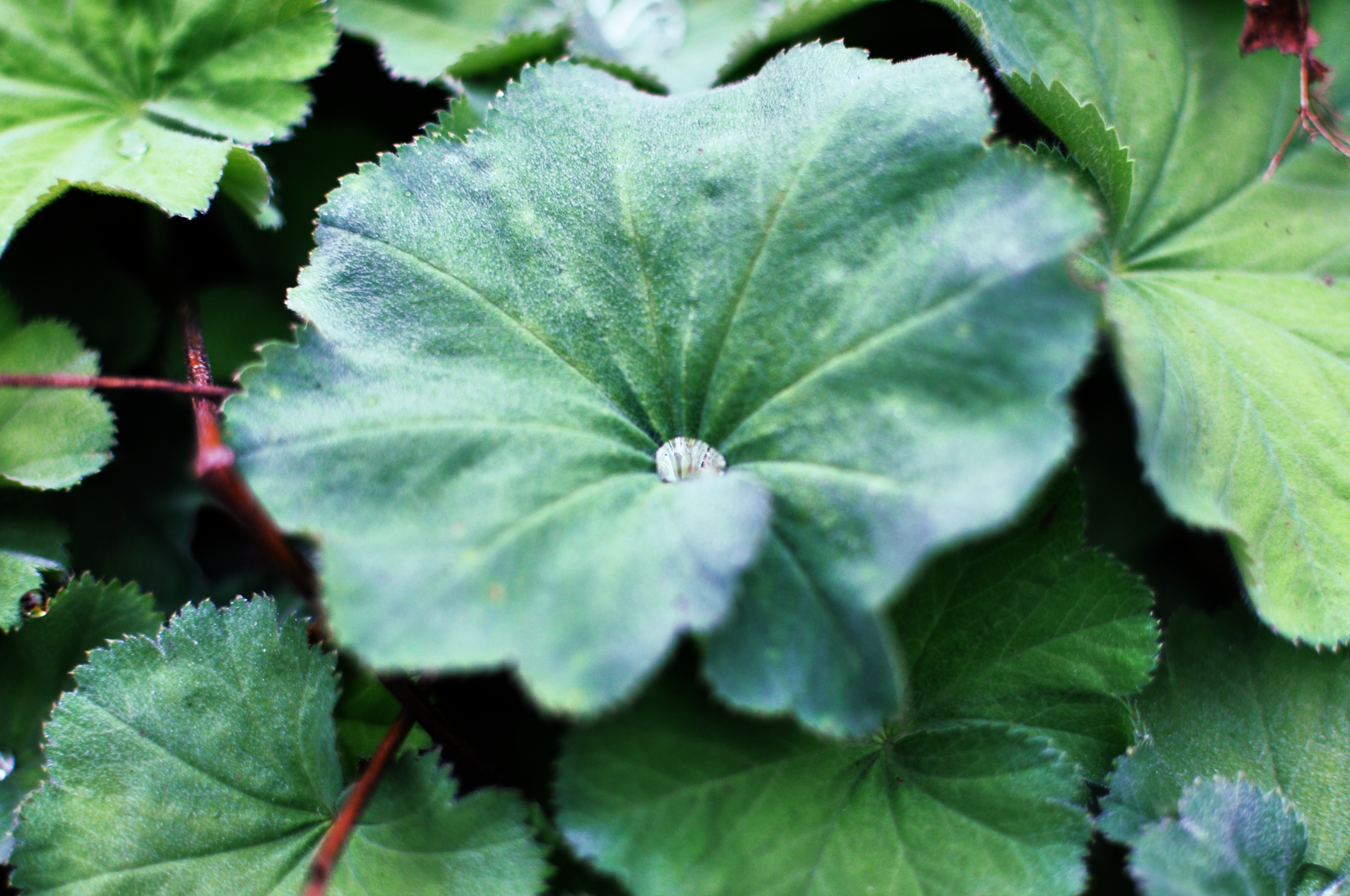 Image of Lady's Mantle