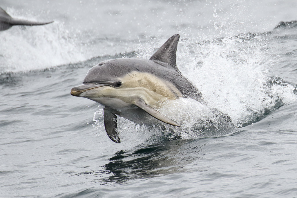 Image of Common Dolphin