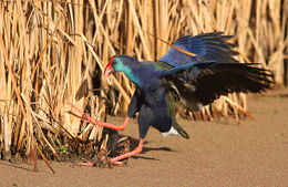 Image of Purple swamphen