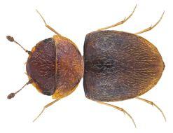 Image of <i>Calyptomerus dubius</i> Marsham 1802