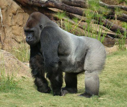 Image of Western Lowland Gorilla