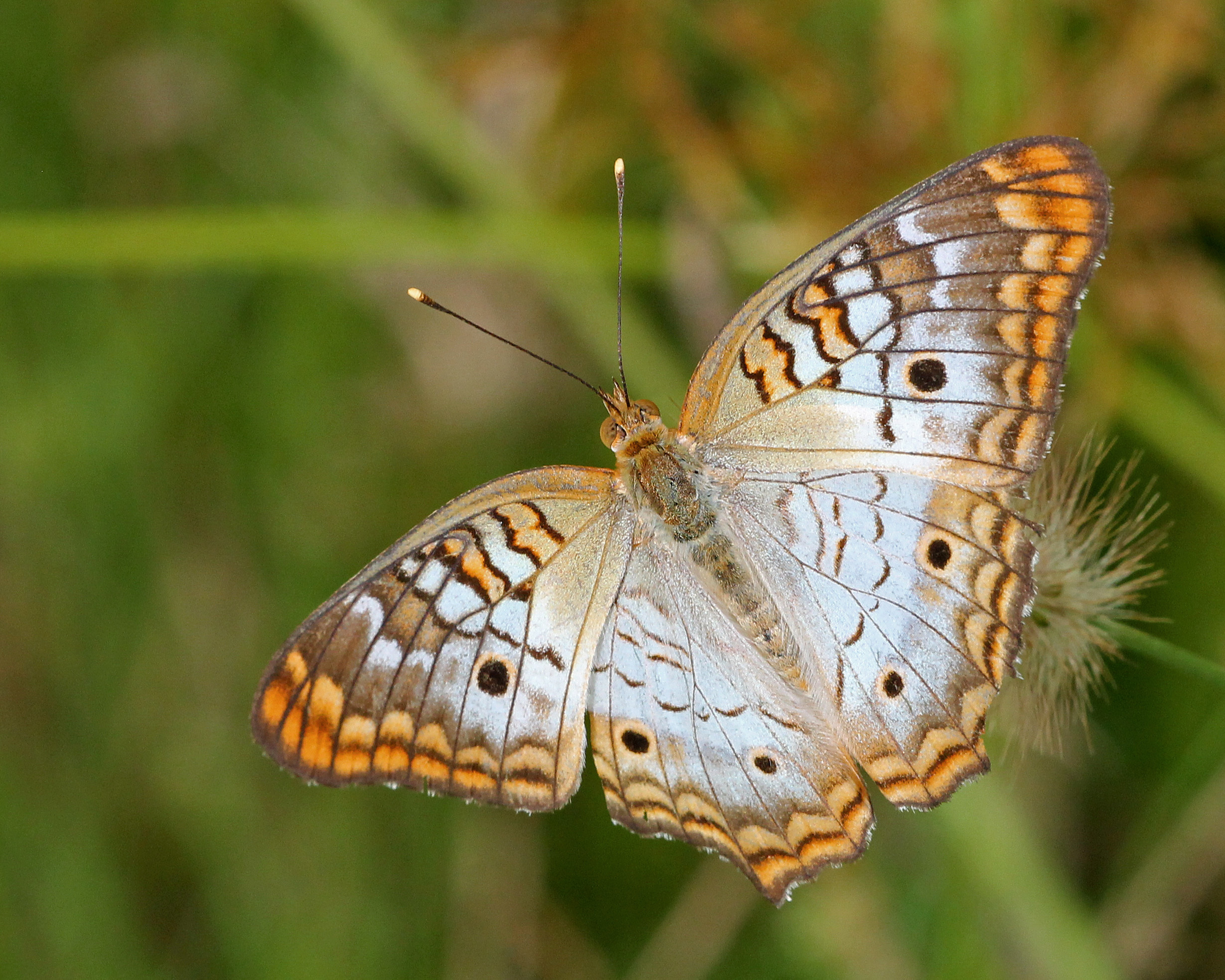 Image of White Peacock