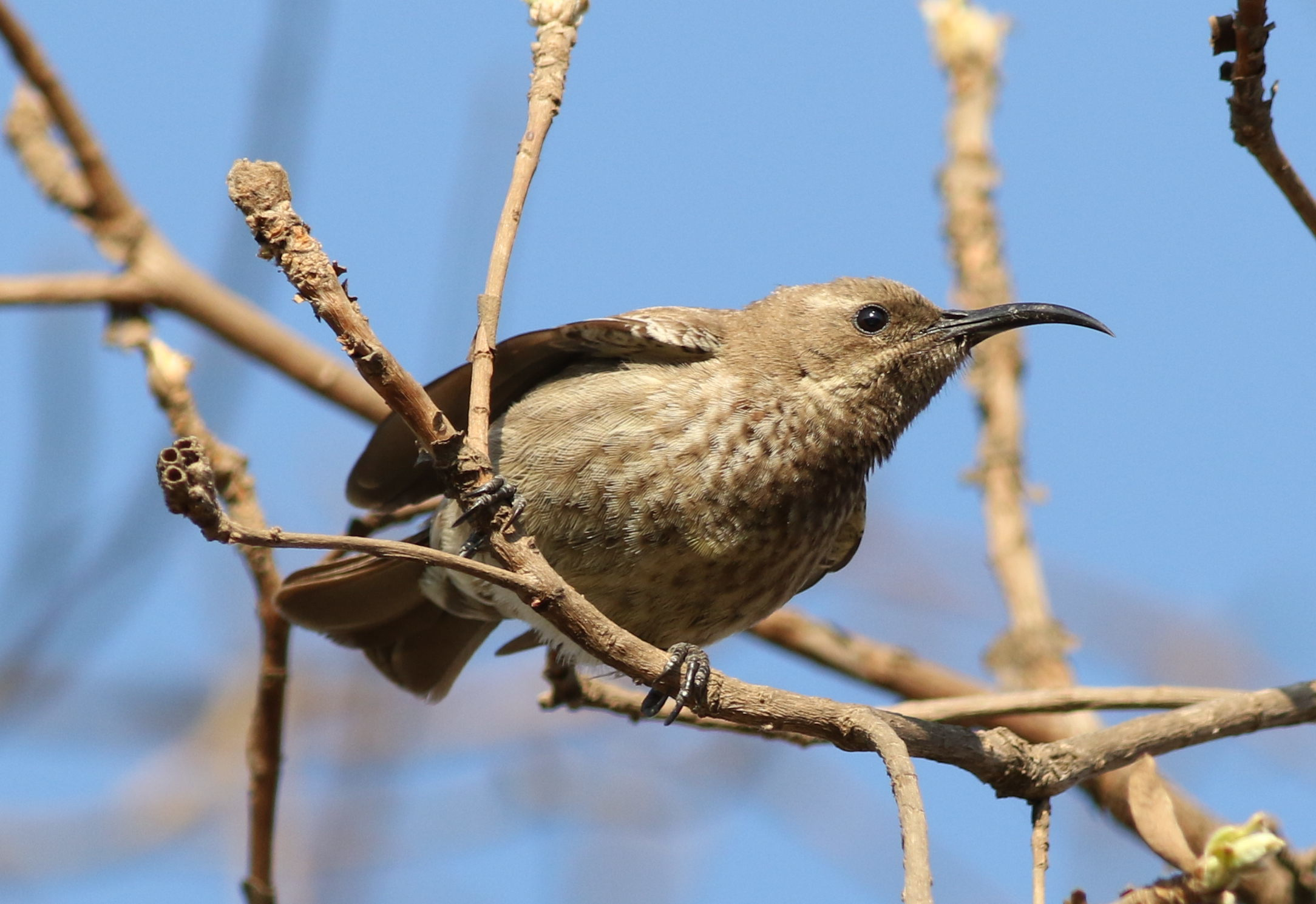 Image of Scarlet-chested Sunbird
