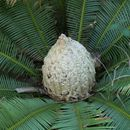Image of Chestnut Dioon