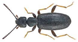 Image of <i>Anthicus luteipes</i>