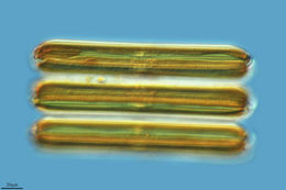 Image of <i>Pinnularia socialis</i> var. <i>debesii</i> (Hustedt) Krammer 2000