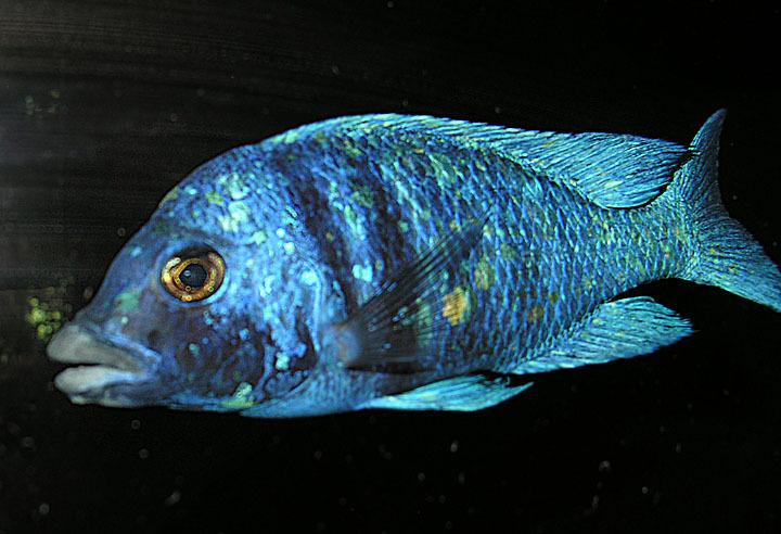 Image of <i>Placidochromis phenochilus</i> (Trewavas 1935)