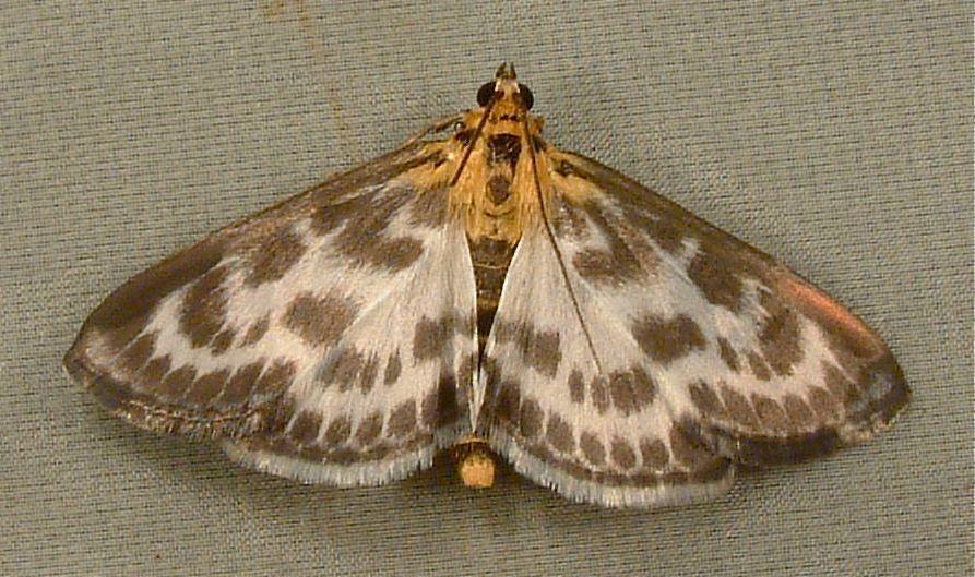 Image of <i>Eurrhypara hortulata</i> Linnaeus 1758