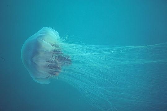 Image of Lion's Mane Jellyfish