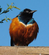 Image of Superb Starling
