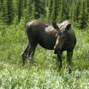 Image of moose