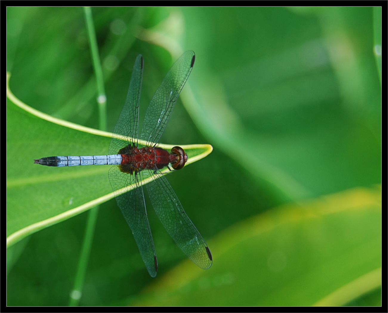 Image of Red-faced Dragonlet