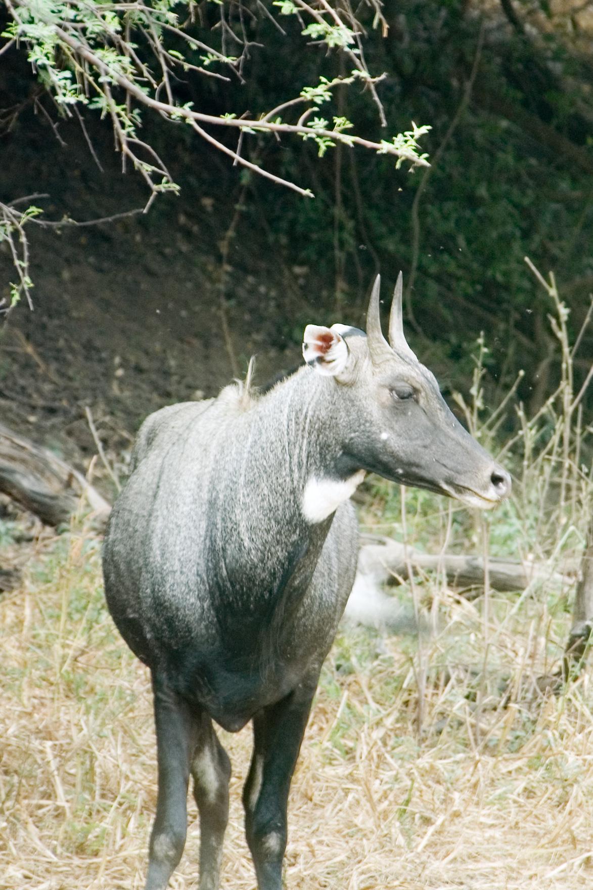 Image of nilgai