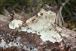 Image of <i>Skeletocutis amorpha</i> (Fr.) Kotl. & Pouzar 1958