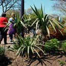 Image of <i>Yucca gloriosa</i> var. <i>tristis</i> Carrière