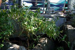 Image of shrubby Jerusalem sage