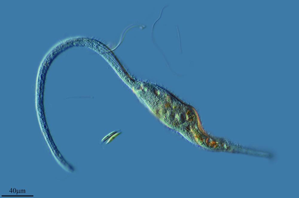 Image of <i>Dileptus cygnus</i>
