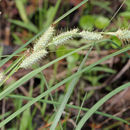 Image of southern waxy sedge