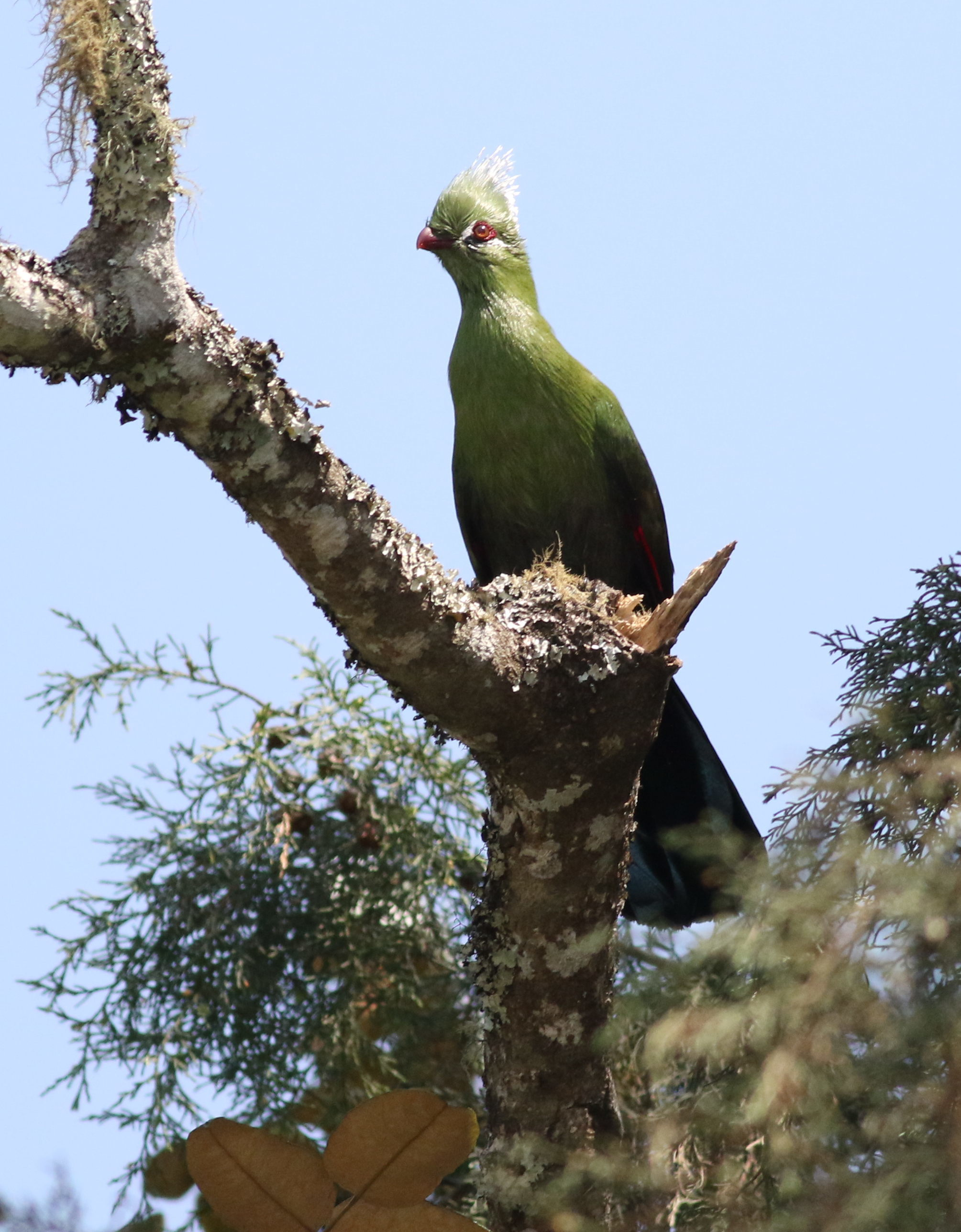 Image of Livingstone's Turaco