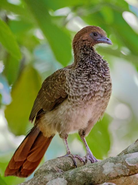 Image of Brazilian Chachalaca