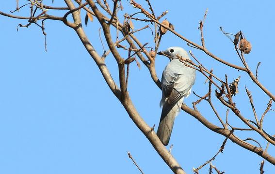 Image of White-breasted Cuckoo-shrike