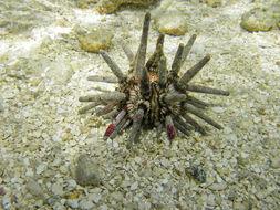 Image of <i>Eucidaris tribuloides</i> (Lamarck 1816)