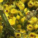 Image of Flapneck Chameleon