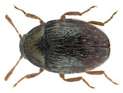 Image of Pill beetle