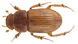 Image of <i>Euheptaulacus villosus</i> (Gyllenhal 1806)