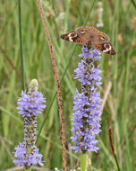 Image of pickerelweed