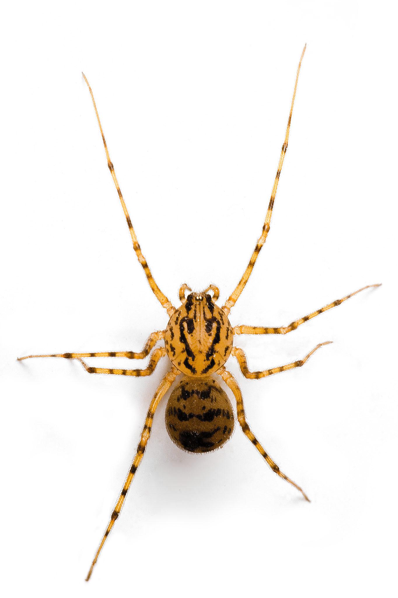 Image of <i>Scytodes thoracica</i> (Latreille 1802)