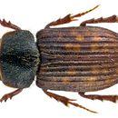 Image of <i>Heptaulacus testudinarius</i> (Fabricius 1775)