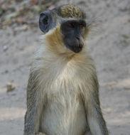 Image of Green Monkey