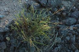 Image of <i>Urochloa arizonica</i>