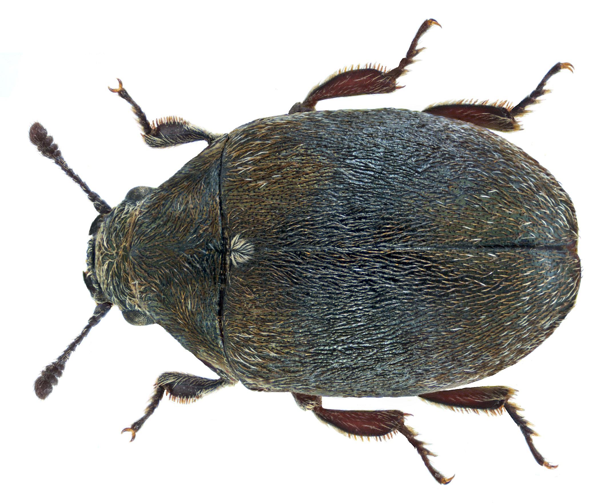 Image of <i>Morychus aeneus</i> (Fabricius 1775) Fabricius 1775